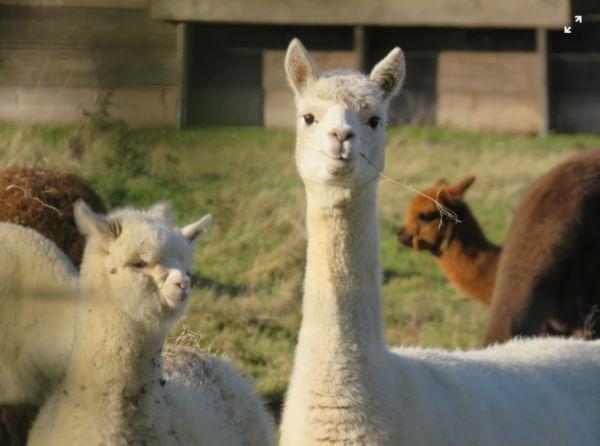 羊驼立功?新研究报告称羊驼血液中抗体有助中和新冠病毒